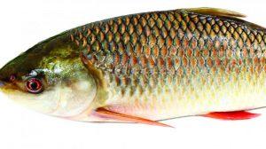 vitamin d3 v ribah